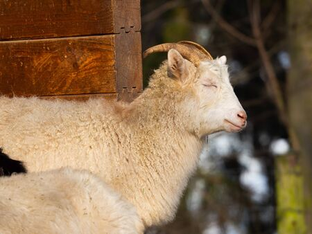 White goat male (billy goat) in winter time enjoying sun