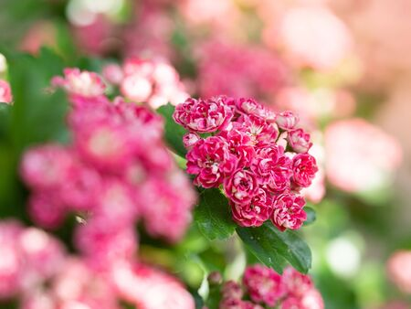 Detail of pink flowers of blooming Crataegus Laevigata tree (Paul's Scarlet) in spring sunny day Archivio Fotografico