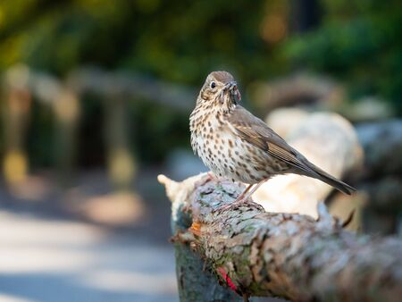 Song thrush (Turdus philomelos) bird sitting on wooden fence with earthworm in beak