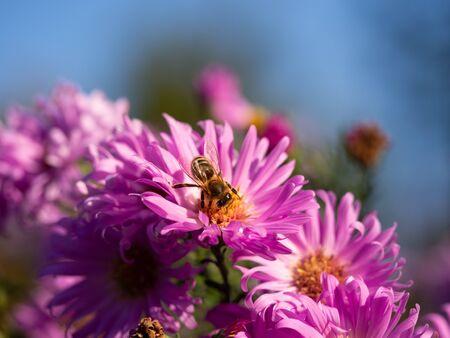 Honeybee collecting pollen from pink Chrysanthemum flower in sunny autumn day
