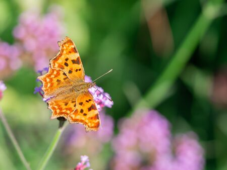 Comma butterfly (Polygonia c-album) sitting on pink blooming flower and feeding