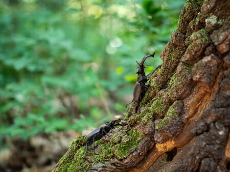 Majestic two males Stag beetle, Lucanus cervus, big insect on old tree trunk