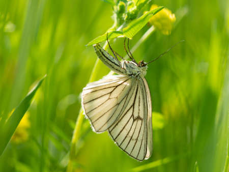 Moth butterfly, Black-veined moth (Siona lineata) female lays eggs on green grass blade in meadow