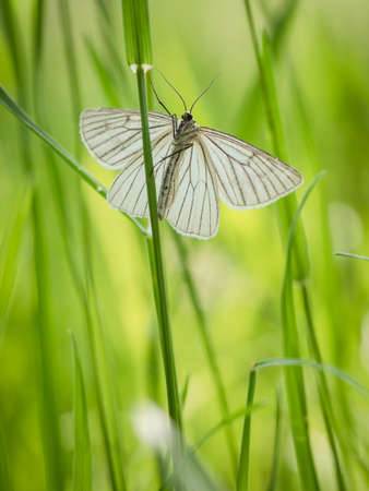 Moth butterfly, Black-veined moth (Siona lineata) on green grass blade in meadow