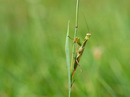 Praying mantis (Mantis religiosa) on blade of grass, insect, ambush predator