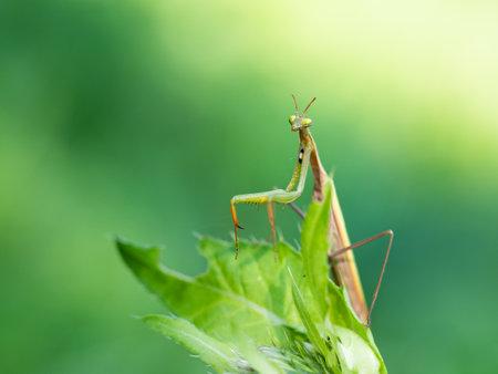 Praying mantis (Mantis religiosa) portrait on green leaf, insect, ambush predator Stock Photo
