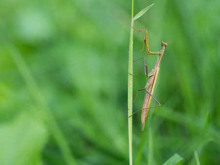 Praying mantis (Mantis religiosa) on blade of grass, insect, ambush predator Stock Photo