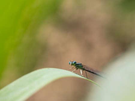 White-legged damselfy (Platycnemis pennipes) male sitting on green blade of grass Reklamní fotografie