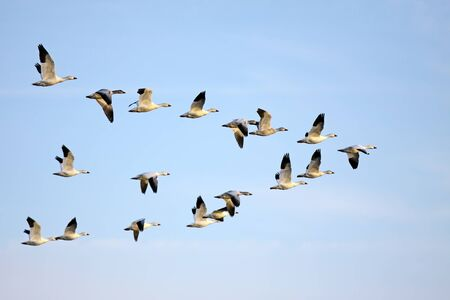 migrating animal: Snow Geese in flight. Stock Photo