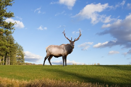 A bull elk on a grassy hillside in Pennsylvania,USA. Stock Photo