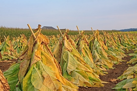 Tobacco cut and set upright on wood lath for drying