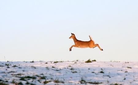 venado cola blanca: Un ciervo de cola blanca Pennsylvania en la carrera. Foto de archivo