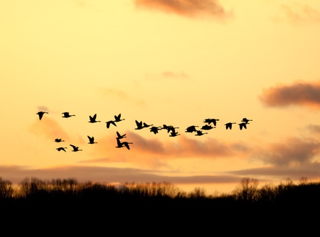 migrating animal: Canadian Geese fly into the sunset