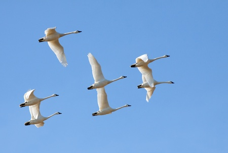 Tundra Swans flying in a clear blue winter sky. photo