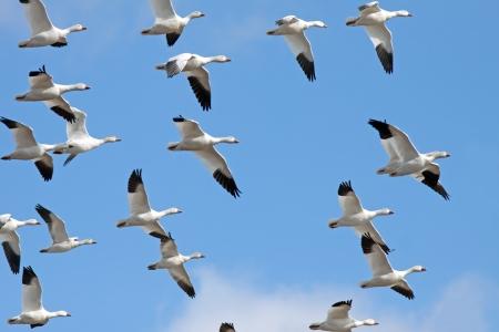 bandada pajaros: La migración de gansos de nieve que vuelan en un cielo azul de invierno.