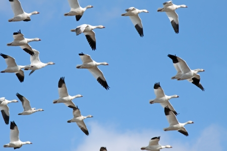Migrating Snow Geese flying in a blue winter sky.