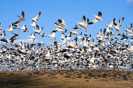 Thousands of Snow Geese fly from a hilltop Stock Photo
