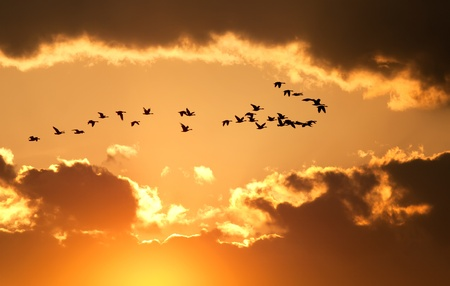 A flock of migratory Canadian Geese flying at sunset