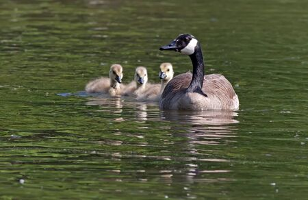 A Canadian goose swimming with her goslings  Stock Photo