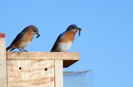 Eastern Bluebirds with worms for their young  Stock Photo