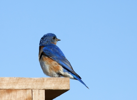 A male Eastern Bluebird perched on its nesting box  Stock Photo