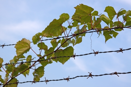 A vine climbing on a barbed wire fence with blue sky in the background  Stock Photo