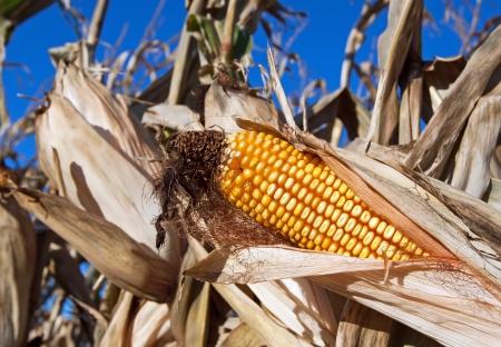 An ear of corn in a farm field ready for harvest