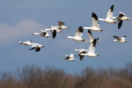 Gansos de nieve que vuelan hacia el norte durante la migración de primavera