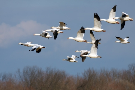 migrating animal: Snow Geese flying north during spring migration