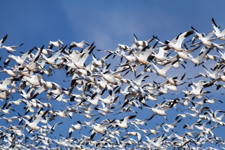 Hundreds of Snow Geese flying through a deep blue sky