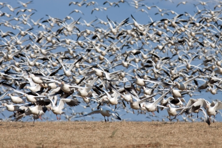 Thousands of Snow Geese fly from a hilltop in Lancaster County,Pennsylvania,USA  Stock Photo