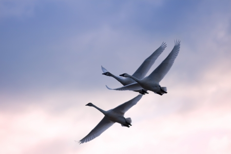 trumpeter swan: Tundra Swans fly at daybreak   Cygnus columbianus   This swan is similar to the Whistling Swan and Trumpeter Swan