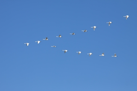 Tundra Swans   Cygnus columbianus   fly in V- formation  Stock Photo