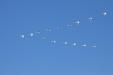 V 形成で飛ぶツンドラ白鳥白鳥座びわ町