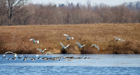 Tundra Swans and Canadian Geese at their winter feeding grounds  photo
