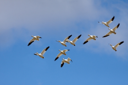 Snow Geese take off for migratory flight.