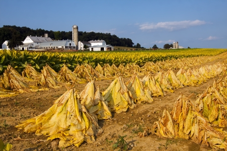 Tobacco on a Lancaster County, Pennsylvania farm is cut and staked for field drying before it is taken into the barn for more drying
