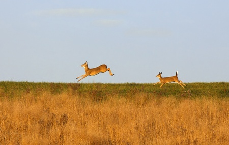 Whitetail deer running on a hilltop illuminated by late afternoon sunlight