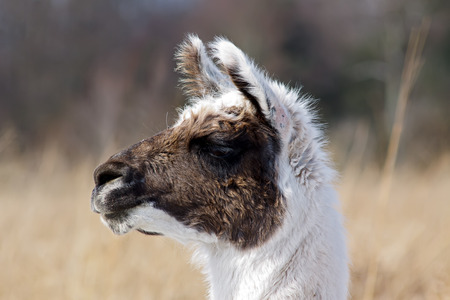Close-up of an Alpaca with grass field background  Stock Photo