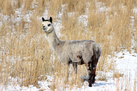 vicugna pacos:  An Alpaca  in a snow covered grass field