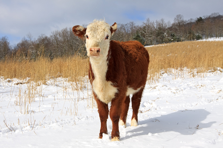 bullock: A young Hereford steer  bullock  grazing in a snow covered grass field