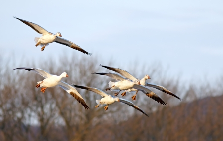 A flock of Snow Geese coming down illuminated by evening sunlight