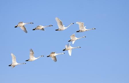 bandada pajaros: Tundra cisnes volando en formación en un día claro de invierno Foto de archivo
