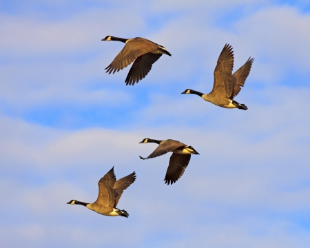 Canadian Geese flying in golden evening sunlight