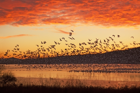 water birds: A flock of Snow Geese fly from partly frozen lake at Middle Creek Wildlife Management Area in Lancaster County, Pennsylvania,USA