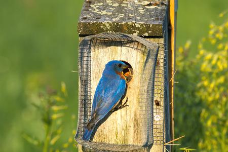 A male Eastern Bluebird feeding the babies on a bright spring day