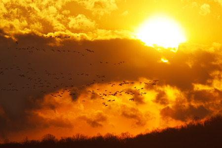A flock of migratory Canadian Geese flying into a cloudy sunset