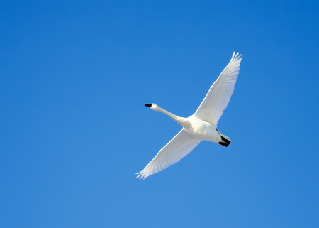 A Tundra Swan flies in a clear blue winter sky  Stock Photo