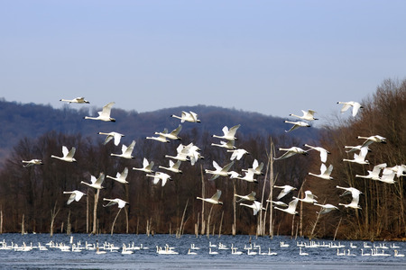 A flock of Tundra Swans fly over a lake with swans swimming in the water