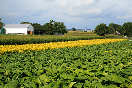 Green tobacco,yellow tobacco and corn ready for harvest on a Lancaster County, Pennsylvania farm. Stock Photo